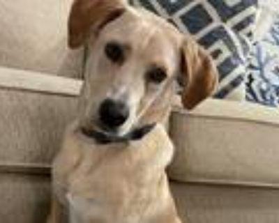 Adopt Ace a Red/Golden/Orange/Chestnut Labrador Retriever / Golden Retriever /