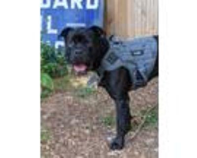 Adopt Kane a Black Cane Corso / Mixed dog in Franklin, GA (31625781)
