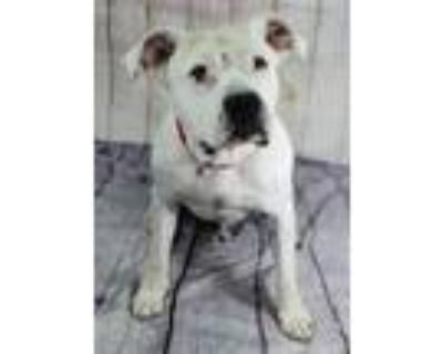 Adopt Devv a White American Pit Bull Terrier / Mixed dog in Cheyenne