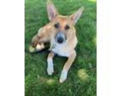 Adopt Giselle a Tan/Yellow/Fawn - with Black Shepherd (Unknown Type) / Mixed
