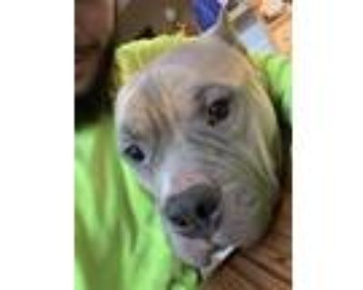 Adopt Dez a Tan/Yellow/Fawn - with White American Pit Bull Terrier / Terrier
