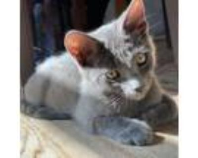Adopt Hank a Gray or Blue Domestic Shorthair / Mixed cat in Culver City