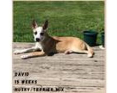 Adopt David a White - with Tan, Yellow or Fawn Husky / Terrier (Unknown Type