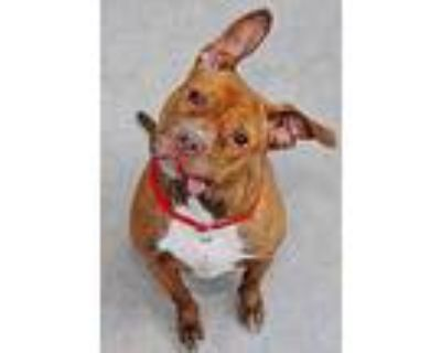 Felicia, Pit Bull Terrier For Adoption In Phoenix, Arizona