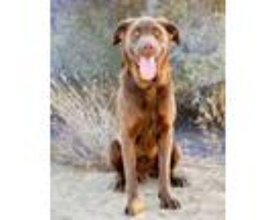 Adopt Floyd/Shlomo a Labrador Retriever, Mixed Breed