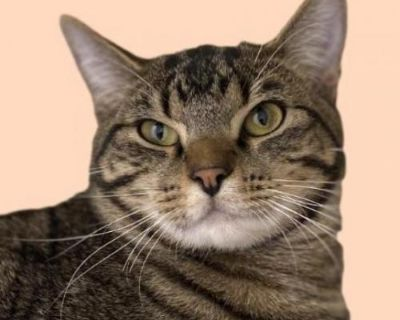 Male Domestic Short Hair named Antler available for adoption