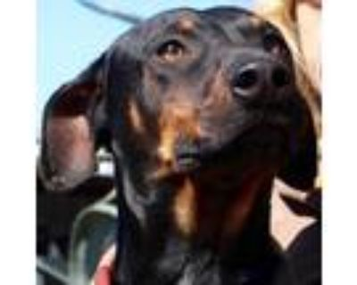 Adopt Rhino JuM a Black Doberman Pinscher dog in Richfield, MN (30993717)