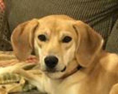 Adopt Lily a Tan/Yellow/Fawn Shiba Inu / Labrador Retriever / Mixed dog in