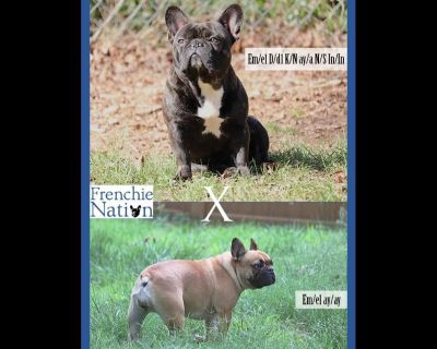 Frenchie Nation LLC - French Bulldog Puppies