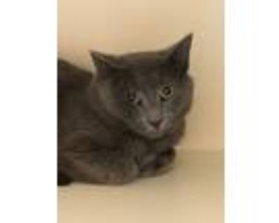 Adopt Juan Carlos a Domestic Shorthair / Mixed cat in Portsmouth, VA (30633191)