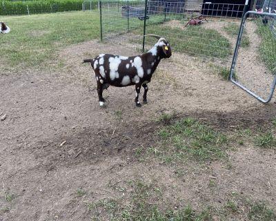 ABGA Reg Boer Goats