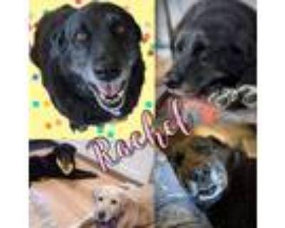 Adopt Rachel a Black Labrador Retriever / Mixed Breed (Large) / Mixed dog in