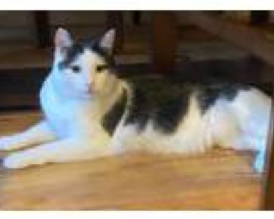 Adopt Cowboy a White (Mostly) Domestic Shorthair (short coat) cat in Kennesaw