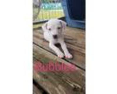 Adopt Bubbles a Pit Bull Terrier, Australian Cattle Dog / Blue Heeler
