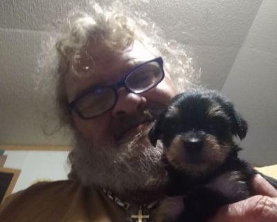 Stolen Yorkie mix Maltese puppy