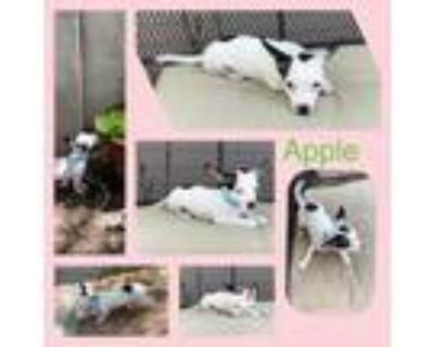 Adopt Apple a White - with Black Jack Russell Terrier / Mixed dog in Scottsdale