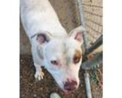 Adopt BUDDY a Pit Bull Terrier, Mixed Breed
