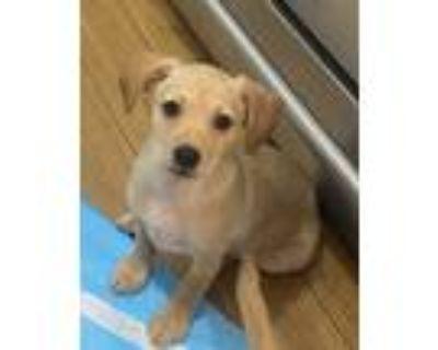 Adopt Blyth a Red/Golden/Orange/Chestnut Terrier (Unknown Type
