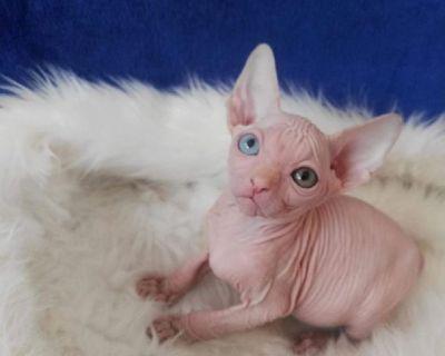 Sphynx kittens family pet