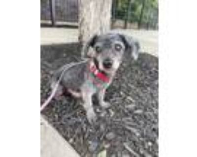 Adopt Wallace a Poodle, Mixed Breed