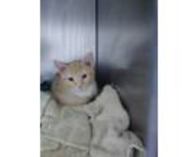 Adopt Saturn a Domestic Shorthair / Mixed (short coat) cat in Portsmouth