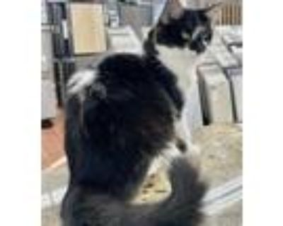 Adopt Jazz a All Black Domestic Mediumhair / Mixed cat in Fort Worth