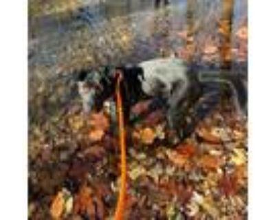 Adopt Brozelle a Black Labrador Retriever / Collie / Mixed dog in St.