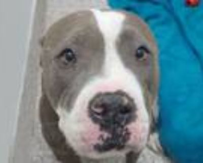 Adopt PUDDIN CUP* a Pit Bull Terrier