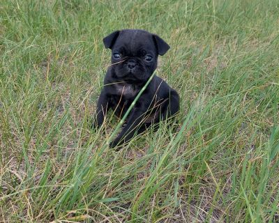 Black Male Pug Puppy
