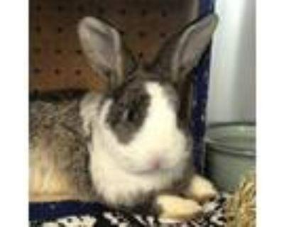 Adopt Harley a Agouti Dutch / Mixed (short coat) rabbit in Los Angeles