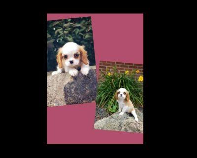 AKC Cavalier King Charles Spaniel puppies