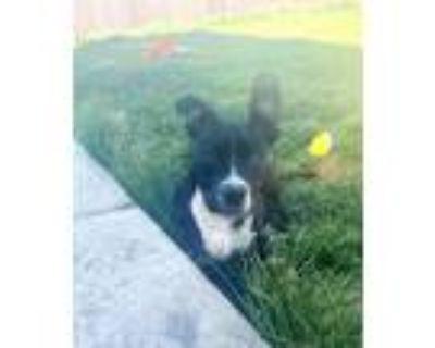 Adopt Bones a Black - with White Labrador Retriever / Border Collie dog in