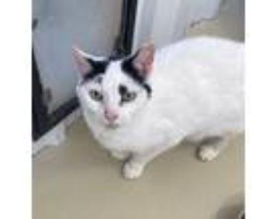 Adopt Twinkie a Tabby, American Shorthair