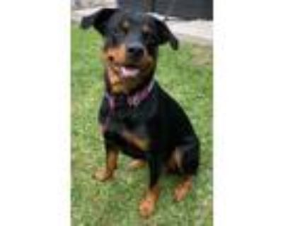Adopt Lila a Rottweiler, Mixed Breed