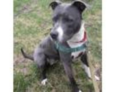 Adopt Brody a Pit Bull Terrier / American Staffordshire Terrier dog in Mesquite