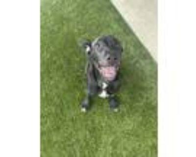 Adopt Hope a Black Labrador Retriever / Mixed dog in Philadelphia, PA (31893617)