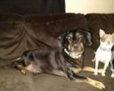 Adopt Underdog a Basset Hound