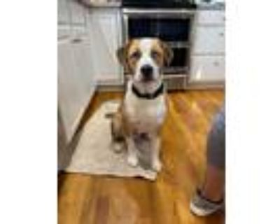 Adopt Gunther a Tan/Yellow/Fawn Hound (Unknown Type) / Mixed dog in Lewis