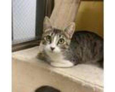 Adopt Tree Frog a Brown or Chocolate Domestic Shorthair / Mixed cat in