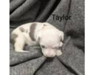 Adopt Taylor Tibby May a Catahoula Leopard Dog