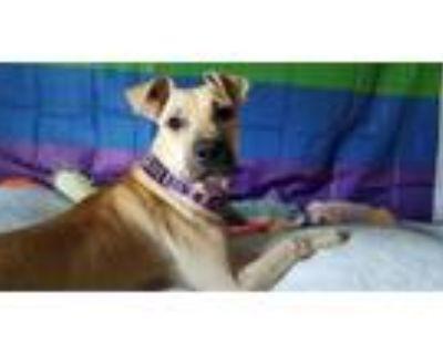 Adopt Tatty a Tan/Yellow/Fawn Labrador Retriever / Boxer / Mixed dog in