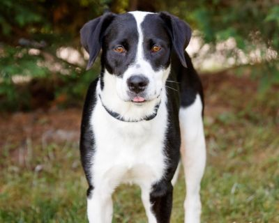 Hydie 10914 - Hound/Retriever, Labrador - Adult Female