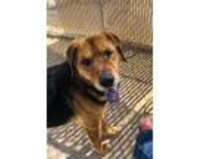 Adopt BALENCIAGA a Brown/Chocolate Labrador Retriever / Mixed dog in