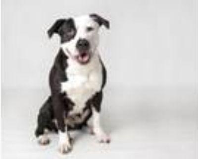Adopt SASHA a Labrador Retriever, Mixed Breed