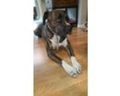 Adopt Damon a Brindle Boxer / American Pit Bull Terrier / Mixed dog in Beverly