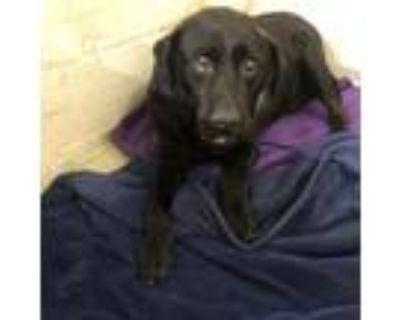 Adopt Bullet a Black Labrador Retriever / Mixed dog in Waldorf, MD (32043847)