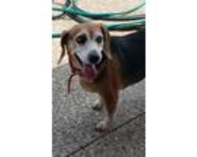 Adopt Sugar- Sweet as her name!! a Brown/Chocolate - with White Beagle / Mixed