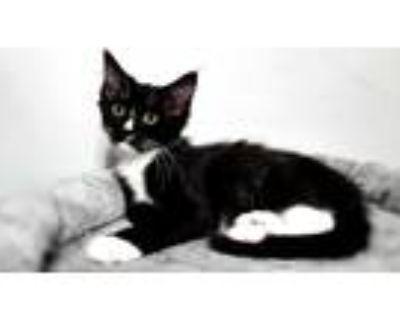 Adopt Fabio a Domestic Longhair / Mixed (long coat) cat in Little Rock