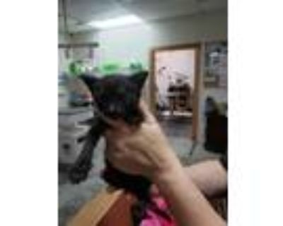 Adopt ALLISON a All Black Domestic Shorthair / Mixed (short coat) cat in Fort