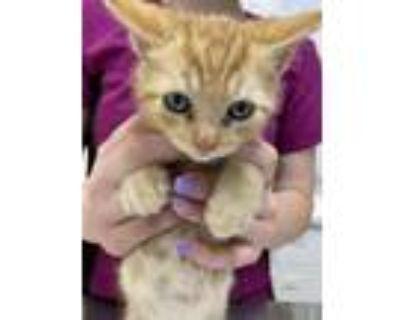 Adopt MG Rika (Ree-Ka) a Domestic Mediumhair / Mixed (medium coat) cat in